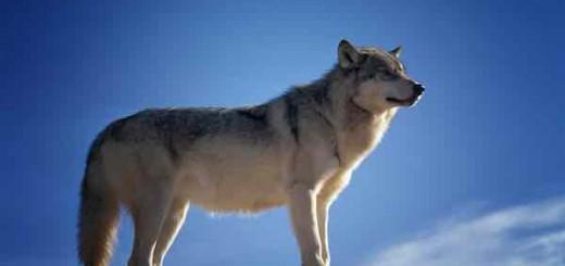 keso:请问你说的是哪种狼?